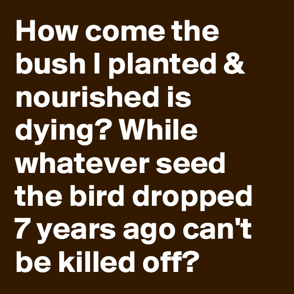 How come the bush I planted & nourished is dying? While whatever seed the bird dropped 7 years ago can't be killed off?