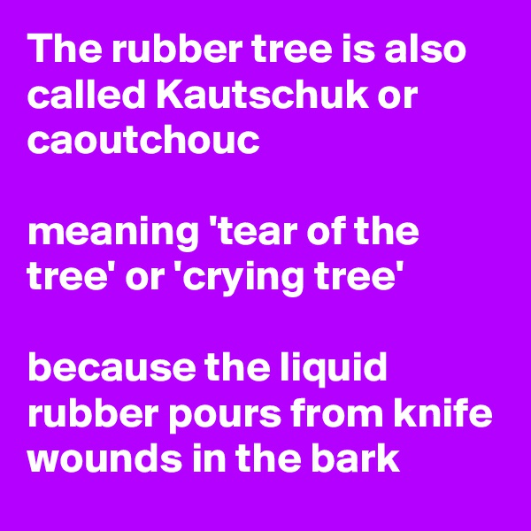 The rubber tree is also called Kautschuk or caoutchouc  meaning 'tear of the tree' or 'crying tree'  because the liquid rubber pours from knife wounds in the bark